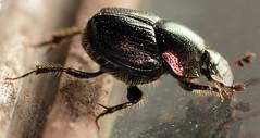6 mm female dung beetle (ophis) Tags: coleoptera polyphaga scarabaeoidea scarabaeidae scarabaeinae onthophagini onthophagus onthophagusorpheus scarabbeetle dungbeetle