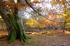 New Forest NP, Hampshire, England (east med wanderer) Tags: england hampshire newforest uk nationalpark autumn trees forest beech oak markashwood worldtrekker