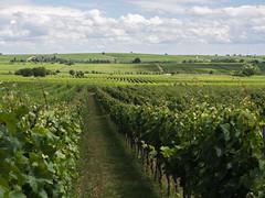 Wijn Wine Wein Vin Vino (Jeroen Hillenga) Tags: wijn wein wine vin vino deutscheweinstrase deutschland duitsland rheinlandpfalz wijnranken wijnbouw farmland farming germany
