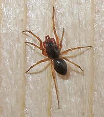 Dwarf Spider, Subfamily Erigoninae, Southold (Seth Ausubel) Tags: araneae linyphiidae