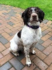 Wet Wet Wet (Heaven`s Gate (John)) Tags: wet wetwetwet brock springer spaniel dog pet england hot play hosepipe johndalkin heavensgatejohn
