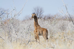 Very Young Giraffe (C McCann) Tags: etosha nationalpark namibia giraffe young baby wildlife safari