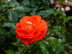 2017 Germany // Unser Garten - Our garden // im Juni // (maerzbecher-Deutschland zu Fuss) Tags: 2017 garten natur deutschland germany maerzbecher garden unsergarten juni