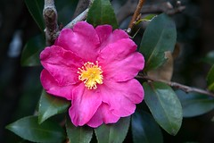 Camellie (DigiPub) Tags: m20170710 revised pastelcolor 387654 813485940 camellia closeup colorimage day february horizontal inbloom japan kanagawaprefecture livingorganism nopeople outdoors photography pinkcolor plant singleflower yokohama