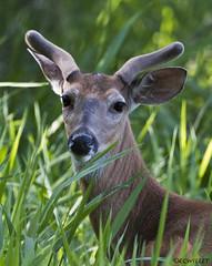 060217036158asmweb (ecwillet) Tags: whitetaildeer deer wildwoodparkharrisburgpa nikon nikond500 nikon200500f56 ecwillet ericwillet