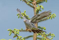JWL8562  Cuckoo.. (jefflack Wildlife&Nature) Tags: cuckoo cuckoos birds avian animal wildlife wildbirds woodlands heathland hedgerows moorland meadows songbirds summermigrant countryside nature