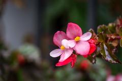 Seeking the light (Pejasar) Tags: escuelaintegrada guatemala antigua flower bloom blossom plant begonia pink red