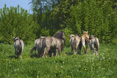 Konik Band (Nix Alba) Tags: horses ponies equines wildhorses dun meadows parks restoration preservation stallion mare foal