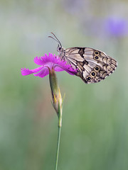 (Marco Díaz Cádiz) Tags: macro bokeh macromondays fotografia mariposa flor nature wildife