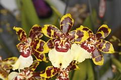 Onc. Colmanara 'Wild Cat' (Plinio Fabbro) Tags: flor flores orquídeas exposição rio claro flower orchids