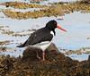 Oystercatcher (Haematopus ostralegus) (iainrmacaulay) Tags: bird scotland oystercatcher haematopus ostralegus