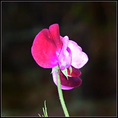 Sweet Pea (ronramstew) Tags: sweetpea flower plant garden summer birchmoor stmichaels liverpool mersey merseyside