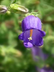 Campanula barbata (Linda DV) Tags: lindadevolder plantentuin nationalbotanicgardenofbelgium 2017 nature geotagged canonpowershotsx40hs garden belgium meiseplantentuin meise ribbet campanula campanulaceae purpleflower asterales