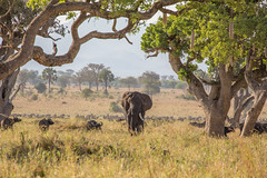 He's making us look small (Ring a Ding Ding) Tags: africa apoka capebuffalo kidepo uganda bullelephant dominance nature remote safari tusks wildlife canon5dmk111 proportion