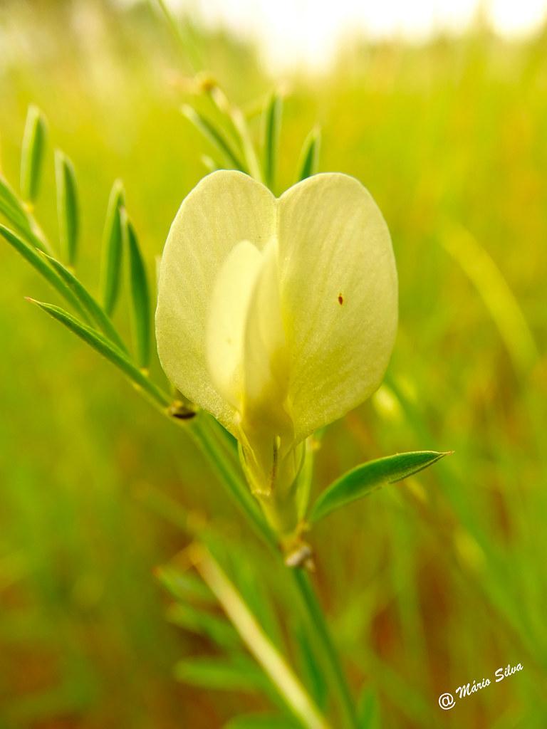 Águas Frias (Chaves) - ... pequena flor campestre ...
