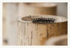 Oruga (Nico Cascante) Tags: gusano oruga animal nikon ecuador nanegal macro bug caterpillar