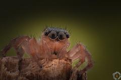 Araignée sauteuse - Saltique (PatHDTattoo) Tags: jumpingspider arachnid arachnide araignée spider salticidae saltique sauteuse stack dofstacking stacking macro
