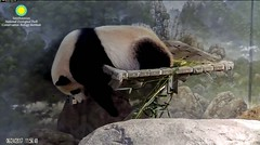 2017_06-24g (gkoo19681) Tags: beibei fuzzywuzzy chubbycubby danglinglegs naptime dangling sillygoober justbecausehecan ccncby nationalzoo