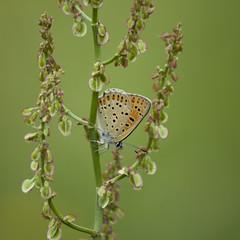 Tenir la chandelle * (Titole) Tags: butterfly titole nicolefaton papillon cuivré green orange squareformat rumex weed