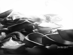 Beauty In The Grave (Shazia Webster) Tags: rose plant petals nature growth despair bw monotone monochrome light inspiration flower beauty death dying grave grey white peace hostility age dead creative