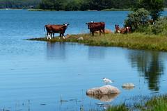 Sommaridyll (evisdotter) Tags: sommaridyll summer cows gull reflections nature landscape sooc nåtö åland