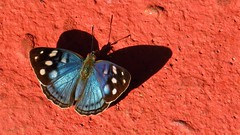 Butterfly at Iguazu Falls (Normann) Tags: argentina iguassufalls iguazu butterfly