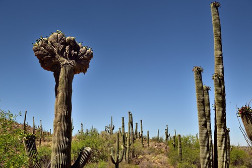 Looking Upward to the Tops of a Crested and Other Saguaro Cactus