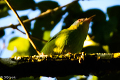Blue Dacnis (Kathleen Black) Tags: birds bluedacnis cortomaltes peru vacation2017