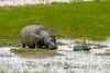 Big and baby hyppo! (GearUp Photography) Tags: africa hyppo safari ngorongoro amazing nature xt2 xf100400 animal wildlife incredible tarangire animals tanzania manyara hyppopothamus serengeti fujifilm