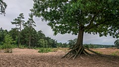 Soestduinen (Skylark92) Tags: nederland netherlands holland utrecht soestduinen soester duinen dunes sand pines forest bos dennen zandvlakte zand