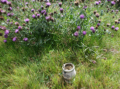 Argentine Yerba Mate beside Scottish Thistle (rickie.hobo) Tags: yerba argentina tea scotland edinburgh thistle drink flower gaucho
