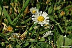 Gänseblumen (GerWi) Tags: gänseblumen trichterwinde kirschen