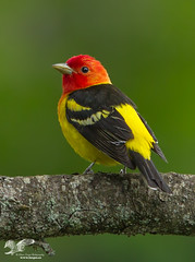 Stop Lights (Western Tanager) (The Owl Man) Tags: