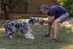 Daddy Doggy Dance (24/52) (Jasper's Human) Tags: 52weeksfordogs aussie australianshepherd play oddball dance