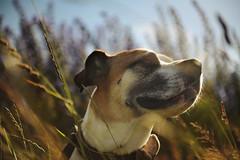24/52 summer breeze (Jutta Bauer) Tags: 52weeksfordogs 52weeksforedgar 2452 edgar dog boxermix pitbullmix summer breeze wind warm eveninglight eveningsun bokeh