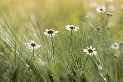 field flowers (Bea Antoni) Tags: nature natur tamron canon nahaufnahme closeup makro macro bokeh summer sommer licht light field feld wiese flowers flower blume blumen
