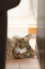 Wil (biglo_de) Tags: norweger waldkatze norwegischewaldkatze katze cat tier animal haustier fokus schärfentiefe tiefenschärfe bokeh nikon pets portrait eyes indoor kitten kater