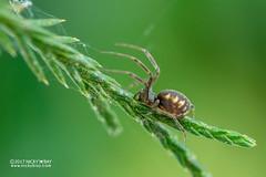 Sheet weaver spider (Linyphiidae) - DSC_5386 (nickybay) Tags: macro malaysia pahang frasershill bukitfraser spider sheet web linyphiidae weaver