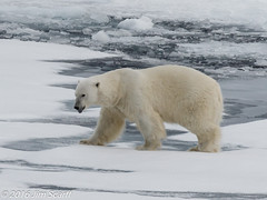 Our ship being of no great interest, the bear continues on its way (Jim Scarff) Tags: mammals marinemammals polarbear wildlife svalbard