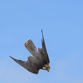 Lanner Falcon Dive