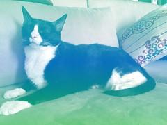 o gato gata (meeeeeeeeeel) Tags: tuxedocat frajolinha everydaylife life cotidiano animaldeestimação pet animal iphone iphoneography green blue cymera colorful colors gatinho kitty kitten cat chat feline felino gata gato