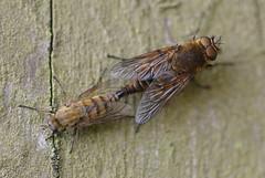 Thereva species (Alan Thornhill) Tags: cavenhamheath suffolk uk diptera stilettoflies thereva therevidae