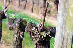vigne printemps 2