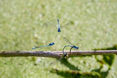 Damselflies (jenna.lindquist) Tags: damselfly damselflies mating group flying together blue pondlife macro green bugs bug insects dragonfly dragonflies spectators