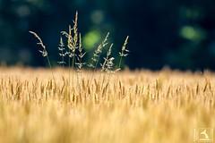 Blé de juin (stephanegachet) Tags: france bretagne finistère champ blé culture stephanegachet gachet nature