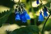 Wolf's Bane (fentonphotography) Tags: alaska bodenburg spring flowers flora monkshood wolfsbane blueflowers