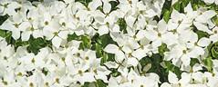 Cornus kousa RHS Wisley (Lark Ascending) Tags: tree blossom bracts cornus cornuskousa white flowers blooms rhs wisley surrey uk gardens botanic
