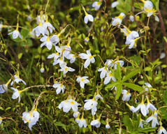 Quaker Ladies or Common Bluets Houstonia caerulea_5523 (Alice & Seig) Tags: maine maine17 eh16birdingmaine5212617 plants asteridae madderrubiaceae rubiales bluethoustonia newbrunswick canada