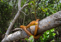Yellow Rat Snake (Nick Scobel) Tags: yellow eastern rat snake pantherophis quadrivittatus allegheniensis florida everglades bright color