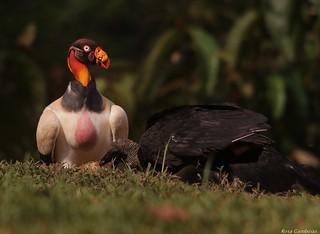 Zopilote Rey | King Vulture (Sarcoramphus papa)